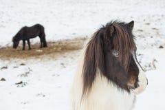 Island hästar i vinter iceland arkivfoton