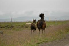 Island hästar med inget omkring royaltyfri fotografi
