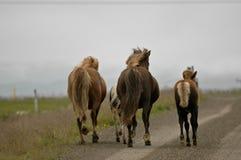 Island hästar med inget omkring arkivfoton