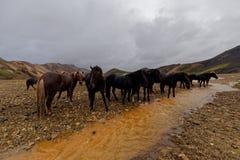 Island hästar vid floden Royaltyfria Bilder