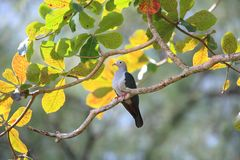 Island imperial pigeon Royalty Free Stock Photo