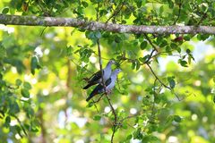 Island imperial pigeon Stock Photography