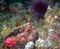 Island Kelpfish pair (Alloclinus holderi). In a scallop shell surrounded by club-tipped anemones and a purple sea urchin. They were found off of central royalty free stock photos