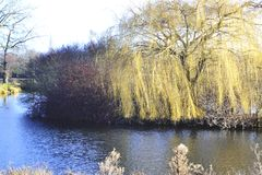 Golden willow tree, shrubbery and undergrowth on a lake island Royalty Free Stock Photos