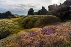 Island landskapnatur med mossa på Lava Ground Makro Royaltyfri Bild