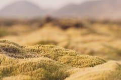 Island landskapnatur med mossa på Lava Ground Makro Fotografering för Bildbyråer