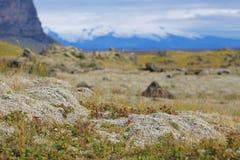 Island lavafält som täckas med grön mossa Arkivfoton