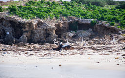 Island Life: Australian Pelicans. Nesting Australian Pelicans on a remote island beach with native plants, limestone rock and Indian Ocean waters in Rockingham royalty free stock images