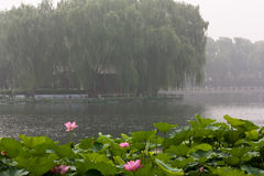 Island in Mist, Beihai Lake, Beijing. Lotus, Nelumbo nucifera, in front of an island on Beihai Lake Royalty Free Stock Images