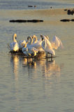 Island Mute Swan family, (Cygnus olor) Royalty Free Stock Photos