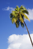 Island Palm Royalty Free Stock Images
