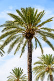 Island Palm Tree On Blue Sky. Green Island Palm Tree On Blue Sky Stock Photography