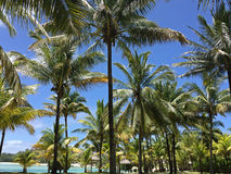 Island palm trees. Green palm trees on Mauritius island with blue sky and water in the background Stock Images