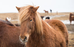 Island-Pferd Stockfotos