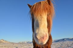 Island-Pferd stockfoto
