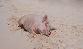 Island Pigs Stock Photography