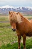 Island ponny Royaltyfri Foto