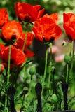 Island poppies Stock Image
