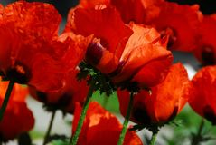 Island poppies close Stock Photography