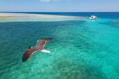 The island in the Red Sea. Seagull over the azure sea and the small island stock photos