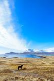 Island-` s Landschaft mit einem isländischen Pferd Lizenzfreies Stockbild