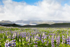 Island Skaftafell nationalpark Arkivbild