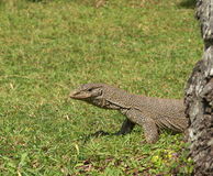 Island Sri Lanka (Ceylon), the big grey monitor Royalty Free Stock Photos