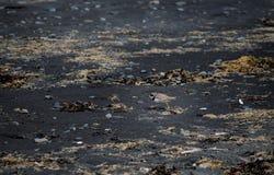 Island-Vogel auf schwarzem Sandstrand lizenzfreie stockbilder