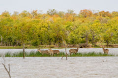 Island Waterbuck. Waterbuck roam on a small island near Pioneers Dam in Kruger National Park, South Africa Stock Image