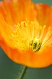 Islandia Poppy Orange Fotos de archivo