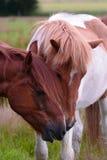 Islandic and Aegidienberger horse (left). Islandic and Aegidienberger horse grazing stock photos