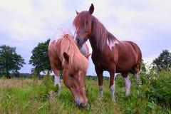 Islandic and Aegidienberger horse (right). Islandic and Aegidienberger horse grazing stock photos