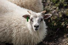 Islandic baby sheep possing Royalty Free Stock Image