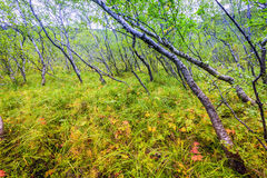 Islandic forest Royalty Free Stock Photography