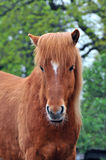 Islandic horse. Is standing and looking royalty free stock photo