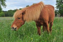 Islandic horse Stock Image