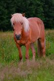Islandic Horse. Is standing on a pasture stock photos