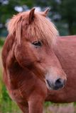 Islandic Horse. Is standing on a pasture stock images