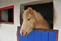 Islandic Horse Royalty Free Stock Photos
