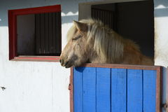 Islandic Horse. Is looking out of his stable stock photo