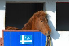 Islandic Horse. Is looking out of his stable stock images