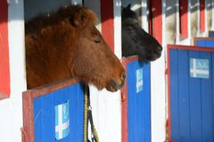 Islandic Horse. Is looking out of his stable stock photography
