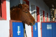 Islandic Horse. Is looking out of his stable royalty free stock photos