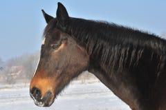 Islandic Horse. S in winter in lower saxony stock photos