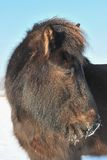 Islandic Horse. S in winter in lower saxony stock photo