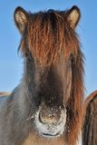 Islandic Horse. S in winter in lower saxony stock photography