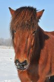 Islandic Horse. S in winter in lower saxony royalty free stock photography