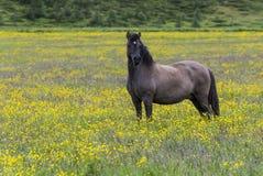 Islandic Horse in Yellow Maedow. Islandic horse in yellow flower maedow near Godafoss waterfall on Iceland stock images