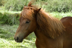 Islandic horse Royalty Free Stock Photo