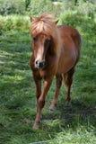 Islandic horse Royalty Free Stock Image